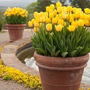 "In the fall - plant spring bulbs in pots. Store the potted bulbs in an unheated garage or storage room. You'll need to water every few weeks since the pots won't have access to rainfall. Pack bulbs ""shoulder-to-shoulder"" in big containers for an abundant display in spring. Toss aside the spacing recommendations so you can get as many bulbs into the container as will fit."