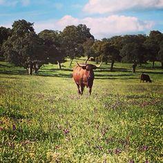 #vacas #retintas #dehesa #LosPedroches #CórdobaEsp www.cortijosydehesa.com