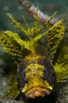 Short-fin/ Dwarf Lionfish