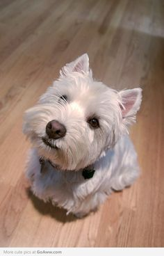 West highland white terrier - I want one!!!
