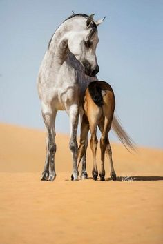 Desert Gray Dapple Arabian Mare With Her Pretty Bay Foal Standing Close Beside.