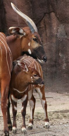 The St Louis Zoo welcomes a little male calf named Tundra as one of the last births of 2011, having come into the world on December 27.Unlike the more common Bongo, the Mountain Bongo is an endangered subspecies of antelope that lives only in a few pockets of mountain forests in Kenya.