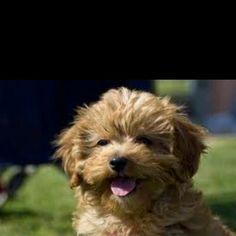 We got a teddy bear dog... best dogs EVER!
