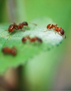 Another similarity between Nora and Marji is that they are both oppressed by men. Like ants, they are both small and defenseless against men, but when they finally stand up for themselves they create an amazing revolution.