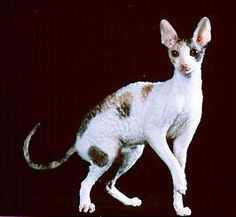 best images and pictures ideas about cornish rex cat - most affectionate cat breeds Chinchilla Cute, Cornish Rex Cat, Here Kitty Kitty, Kitty Cats, Cat Species, Gatos Cats, Devon Rex, Cat Pose, Domestic Cat