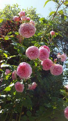 Villskudd, rotskudd og sideskudd i hagen! Fruit, Rose, Pink, Roses