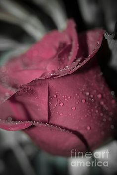 Touch of red by Claudia M Photography Maroon Aesthetic, Aesthetic Roses, Pink Flower Photos, Pink Flowers, Color Photography, Macro Photography, Color Splash, Flowers Black Background, Love Heart Images