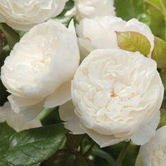 """william and catherine"" david austin garden rose... new 2011 variety"