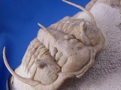 イメージ9 - Paraceraurus sp. n.sp.?の画像 - 三葉虫の巣穴 - Yahoo!ブログ