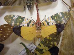 /laternaria candelaria/ planthopper, or lantern bug