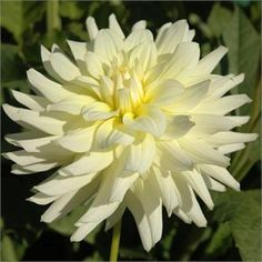 "MOONSTRUCK (MSC) Introduced in 1996. An excellent cutflower, these 3"" blooms are a very delicate shade of soft cream yellow. Bush is neat an..."