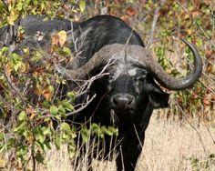 African Buffalo, African Buffalo