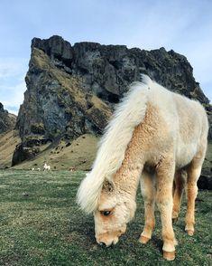 Some Icelandic horses somehow remind me of fluffy teddy bears Fluffy Teddy Bear, Teddy Bears, Icelandic Horse, London Travel, Camel, Horses, Instagram Posts, Photography, Rabbits