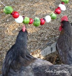 Boredom during the cold months can lead to pecking and other issues within your flock. Cure the winter blahs with edible vegetable garlands for your chickens!