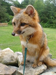 Wouldn't it be so much fun to have a pet fox?!