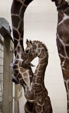 An 11-day-old calf at Hogle Zoo and its mother, Kipenzi. (Lennie Mahler     The Salt Lake Tribune)