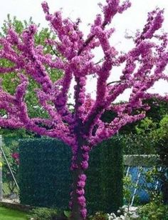 Photo CERCIS siliquastrum