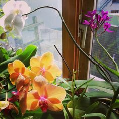 Phalaenopsis and Epidendrum orchids
