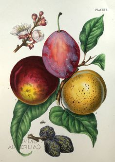 indigodreams:    ushishir:    oldbookillustrations:    Plate 1 and frontispiece to A treatise on the insect enemies of fruit and fruit trees, by Isaac P. Trimble, New York, 1855. Illustrated by Hochstein.  Via archive.org.