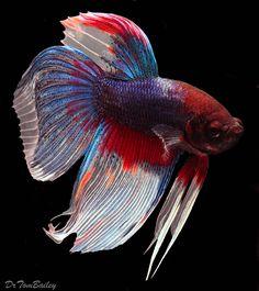 BETTA:  Red White and Blue Unique Male Betta Fish at AquariumFish.net