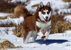 Siberian Husky running through the snow.