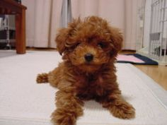 Like any dog breed, teddy bear puppies will develop their own behaviours based on their upbringing, including factors like socialization, training and environment. Description from dogbreedspicture.net. I searched for this on bing.com/images