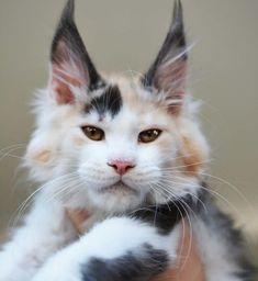 we love cats. Cute Kittens, Baby Kittens, Cats And Kittens, Fancy Cats, Big Cats, I Love Cats, Cool Cats, Weird Cats, F2 Savannah Cat