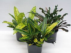 Luxury Christmas Croton Plant Gift - Potted plant with Christmas Pot Cover -Delivery in first week of December or Before - A stunning gift that will last for more than just Christmas - Ideal alternative to Christmas Cards - Create the perfect gift combination - Variety of Christmas Pot Cover options - Gift wrap available - Codiaeum. (1, Merry Christmas) Best4garden http://www.amazon.co.uk/dp/B017XQV37M/ref=cm_sw_r_pi_dp_rPctwb004P7S5