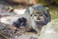 Pallas cat licking his nose \\ At the Mulhouse Zoo Pallas's Cat, All Gods Creatures, Cool Pictures, Nice, Gatos, Animaux, Cats, Nice France