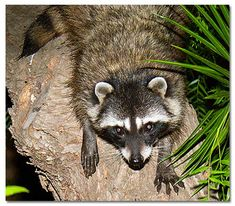 Raccoons, for more i