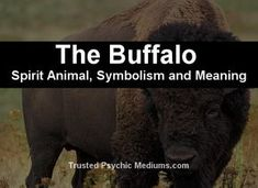 What does the Buffalo spirit animal really mean? Find out the true meaning and symbolism of the Buffalo in this special spirit animal analysis. Buffalo Animal, Baby Buffalo, Totem Meaning, Animal Meanings, Weird Sisters, Dream Meanings, Power Animal, Spiritual Meaning, Animal Totems