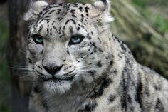Snow Leopard Stare by KathleenStenhouse
