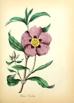 Ciste ladanifère / cistus ladaniferus | The American flora :. New York :Hull & Spencer,1855.. biodiversitylibrary.org/page/11457707
