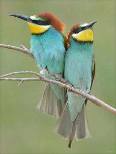 Bee eater - couple