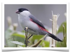Black Crowned Waxbill is a common species of estrildid finch found in western-central Africa.  - Wikipedia.
