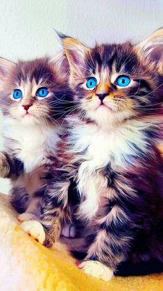 Beautiful kittens with the brightest blue eyes I have ever seen.