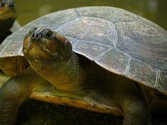 Crónicas Angostureñas / Américo Fernández: La tortuga de Orinoco