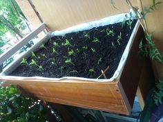 Homemade urban garden filled with tomato plants