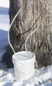 Composting Hacks Backyard sugaring part 2 - My timing was slightly off this year. I thought I had a little more time before tapping season would start, but I was wrong. My good friend Charles, and also my mentor and motivation for getting … Tapping Maple Trees, Sugar Bush, Sugaring, Tree Care, Hobby Farms, Aquaponics, Fruit Trees, Permaculture, Maple Syrup