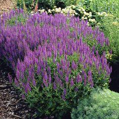 Salvia nemorosa mainacht may night - 1 plant Buy online order yours now Water Wise Landscaping, Landscaping Shrubs, Growing Gardens, Farm Gardens, Most Beautiful Flowers, Beautiful Gardens, Planting Plan, Farmhouse Garden, Purple Garden