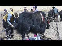 Farm Life in Lhasa, Tibet - China