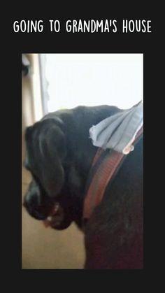 Black Labrador Dog, Labrador Mix, Labrador Retriever, Dog Treats, Dogs, Animals, Holiday, Labrador Retrievers, Animales