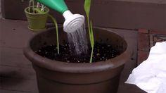 Grow your own turmeric! Health Ranger to teach home turmeric production with modified Food Rising grow box