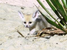 fennec fox...smallest fox in the world