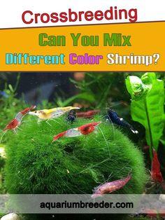 Crossbreeding: Can You Mix Different Color Shrimp? Shrimp Tank, Snail, Different Colors, Cool Pictures, Canning, Home Canning, Slug, Conservation