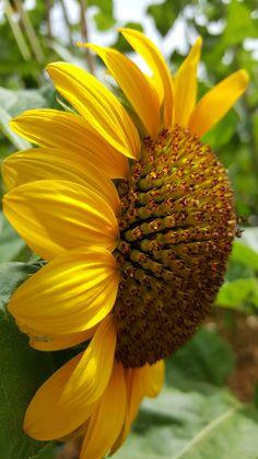 Sun flower - Up close - by Geoffrey vander eecken