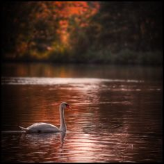 Swan - EPping Forest