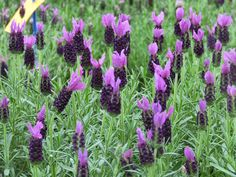 Garden Tip - All lavender types need little or no additional fertilizer to be happy. This is Lavender LeVela Dark Violet by Selecta - Year of the Lavender - National Garden Bureau #yearofthelavender