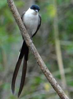 Aves Brasileiras  * Tesourinha…