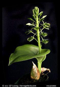Liparis cordifolia. A species orchid (color)